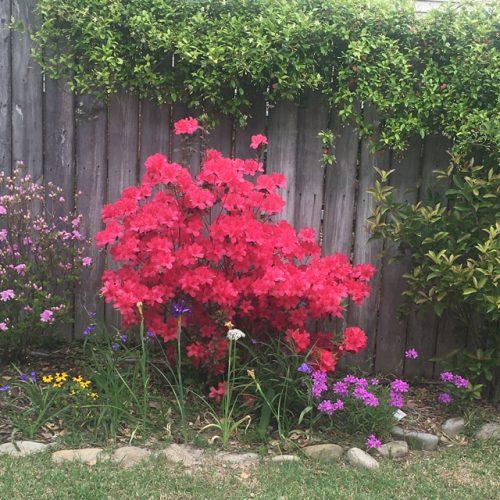 Brilliant colored Azalea