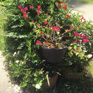Potted bougainvilleas at the front